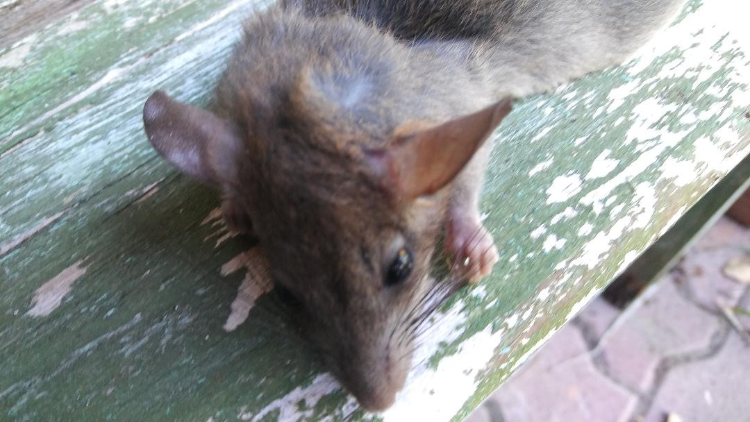 4 Rat Ears.jpg