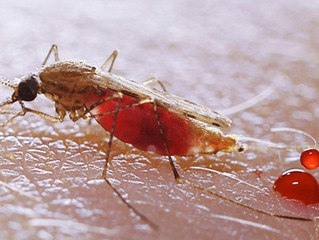 Mosquitoes More Than Your Ever Wanted to Know