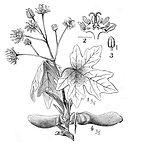 antique maple leaf acer.jpg