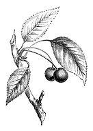 antique cherry.jpg
