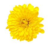 yellow dahlia trans.png