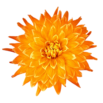 dahlia orange trans.png