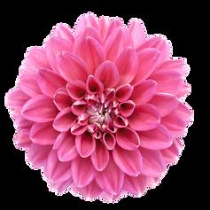 dahlia pink trans.png