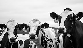 grayscale-photography-of-three-cows-8772