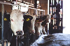 white-cow-in-cattle-house-69170.jpg
