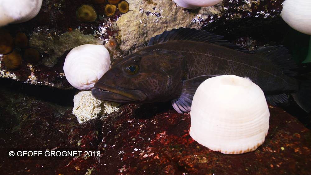 Male Lingcod guarding eggs
