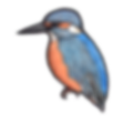 kingfisher-square.png