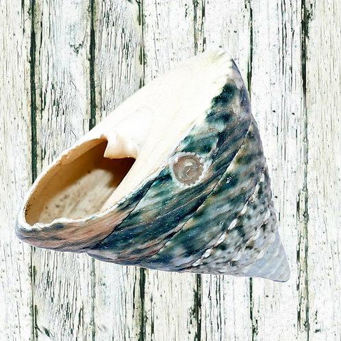 30cm Sea Shells each - different options