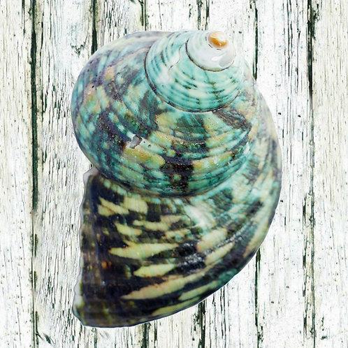 A2 Sea Shells - different options