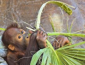 orangutan-3819400_1920.jpg