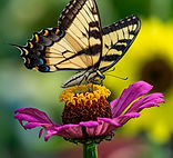 cone flower with butterfly carl mayford July 2020.jpg
