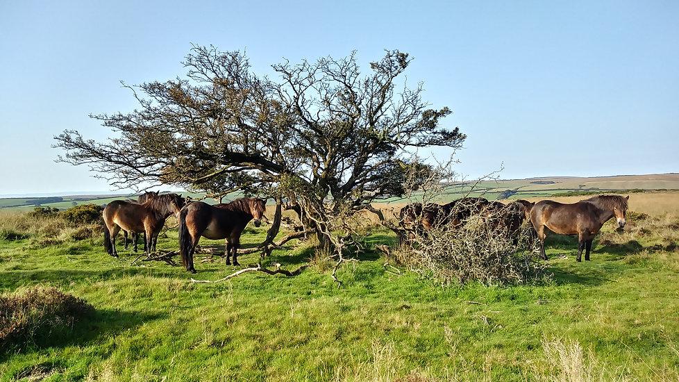 herd under tree winsford closer sunny.jpg