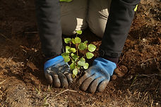 Birch tree being planted © Trees for Lif