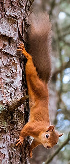 Red Squirrel with feet reversed cropped