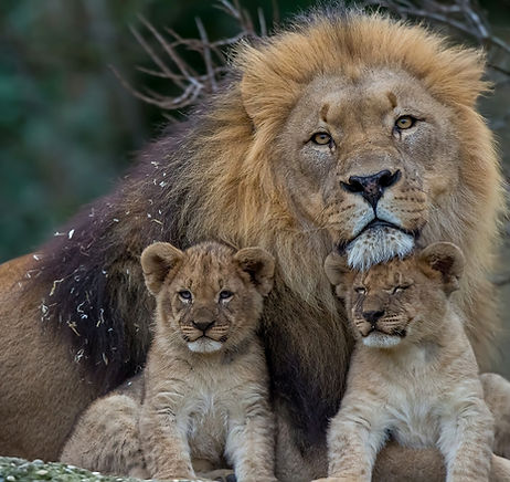 lion with babies