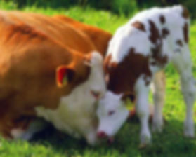 cow with babycow