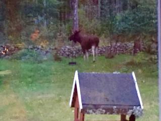 Meandering Moose & Linderödsvin