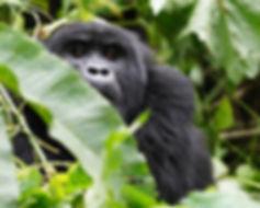 W Gorilla 605.jpg