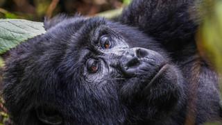 W Gorilla 510.jpg