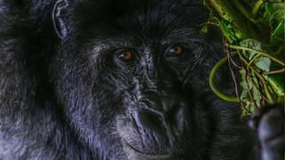W Gorilla 627.jpg
