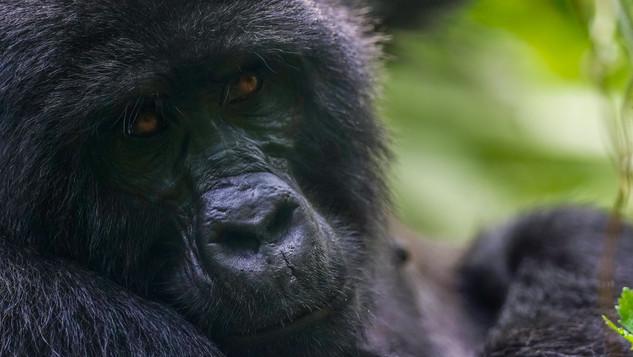 W Gorilla 678.jpg
