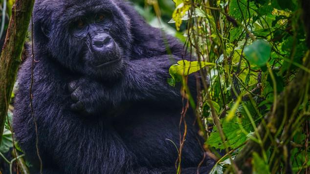 W Gorilla 701.jpg