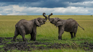 Bull_Elephants_Color.jpg