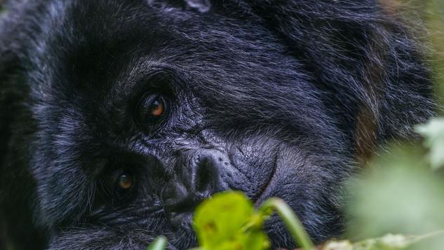 W Gorilla 568.jpg