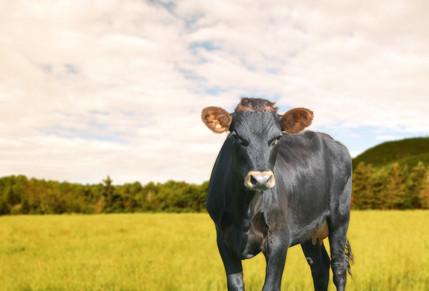 Vache-Can-Noire-BG.jpg