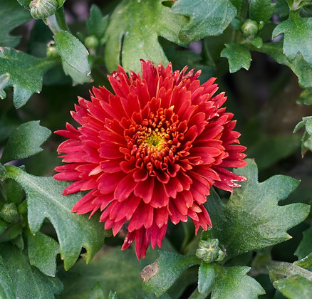 Chrysanthemum 1gal Flamingo Cranberry Red