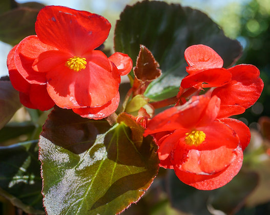 "Begonia 12""pot Big Red w/Bronze Leaf"