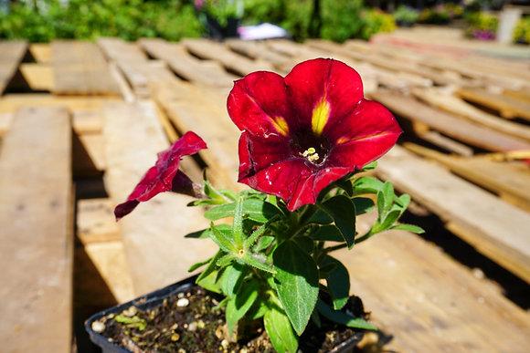 """Petunia Crazytunia 4""""pot Razzmatazz"""