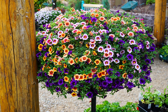 Calibrachoa Mix Biggie Pots