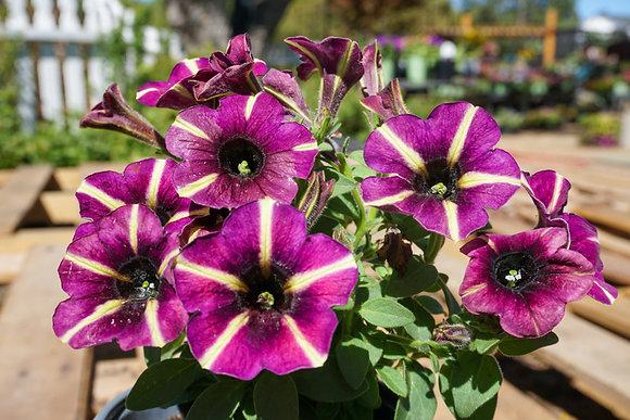 """Petunia 4""""pot Crazytunia Blackberry Mojito"""