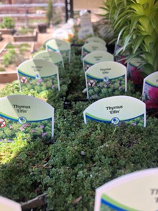 "Creeping Thymus 4""pot Elfin"