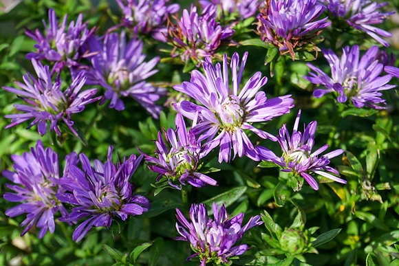 Aster 1gal Royalty Henry I Blue