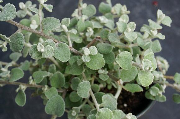 "Helichrysum 4""pot Licorice Silver"