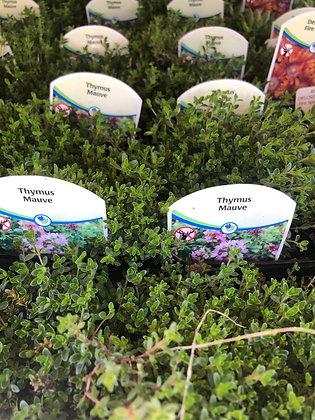"Creeping Thymus 4""pot Mauve"