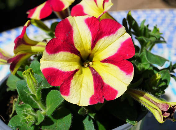 Petunia 1gal Amore Queen of Hearts