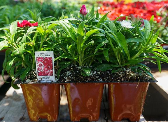 Dianthus 6-pak Floral Lace Mix
