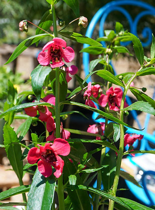 "Angelonia 4""pot Archangel Cherry Red"