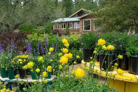 Viola's Yellow Flower Garden.jpeg