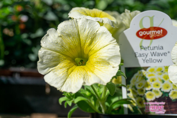 "Petunia Easy Wave 4""pot Yellow"
