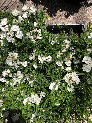 Dianthus 6-pak Floral Lace White