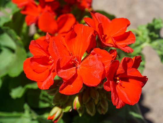 "Geranium Zonal 4""pot Rocky Mountain Red"