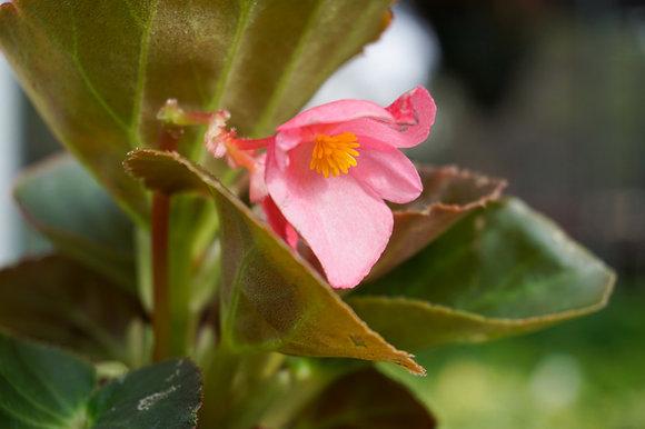 "Begonia 4""pot Big Rose w/Bronze"