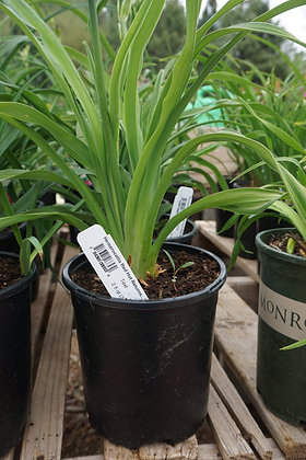 DayLily 1gal Red Hot Returns