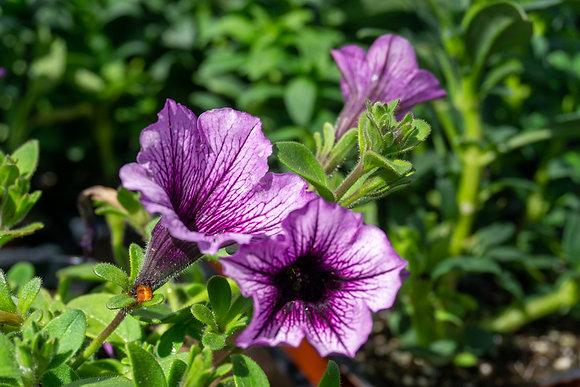"""Petunia 4""""pot Supertunia Bordeaux"""