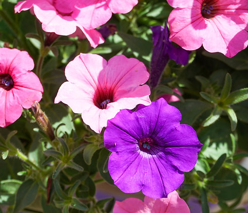 "Hang Basket 10"" Petunia Blue & Pink"