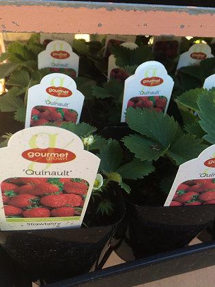 """Strawberry 4""""pot Quinalt"""